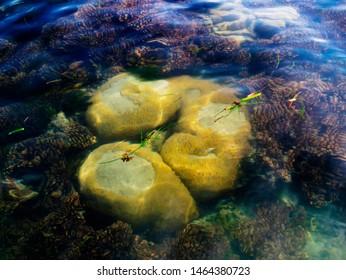 Brain Coral, Nallathanni Island, Gulf of Mannar Biosphere Reserve, Tamil Nadu, India.