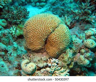 Brain coral (Platygyra).