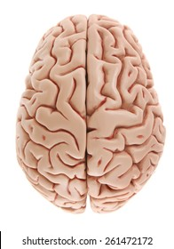 Brain Model from above