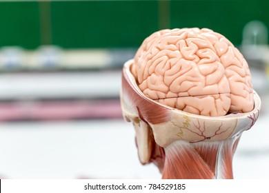 Brain model and medicine drug in laboratory.