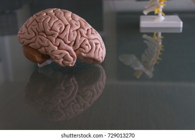 Brain model and spine model with reflection on the table in doctor office,