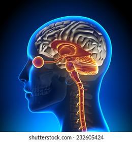 Brain Stem, Cerebellum, Optical Nerve - Female Head Anatomy