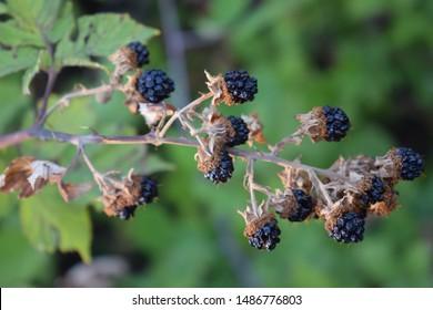 Bramble branch with ripe blackberries (Rubus ulmifolius)