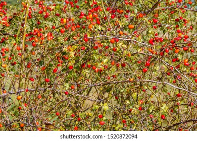 Bramble covered with red fruits, rose hips or wild rose. Canine rose. Rosa canina.