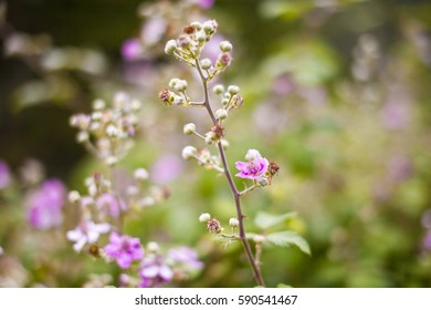 bramble with flowers in spring