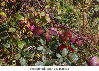 Bramble leaves turning autumn colours