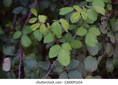 Bramble (Rubus ulmifolius)