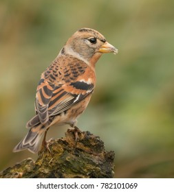 Brambling Bird Wildlife