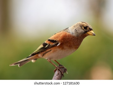 Brambling on a branch