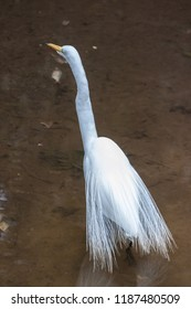 Garça branca. he great egret is a large heron with all-white plumage. Standing up to 1 m (3.3 ft) tall, this species can measure 80 to 104 cm (31 to 41 in) in length.