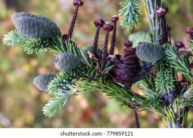 branch of abies sibirica with cones, old and young