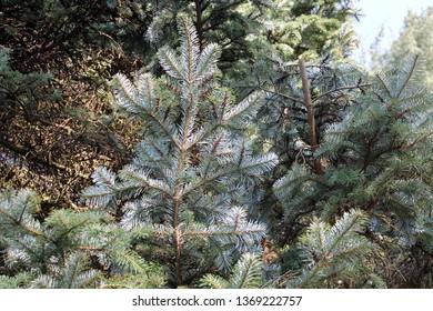 Branch of Abies veitchii or Veitch's fir