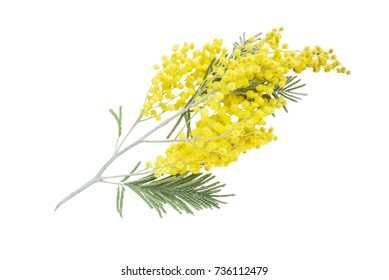 Branch of an acacia dealbata with yellow fluffy flowers, isolated on a white background