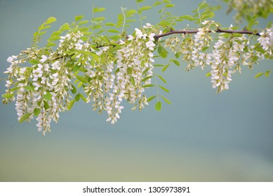 Branch of Acacia Flowers in spring time