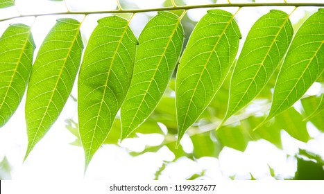 Branch of ailanthus with green leaves.