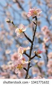 Branch of Almond Blossom