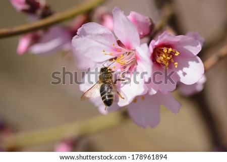 a branch of almond trees in full bloom with a bee