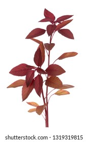 A branch amaranth isolated on white