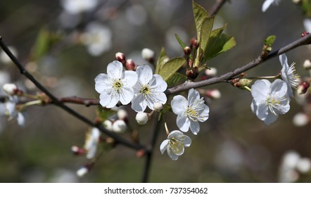 branch of apple tree with blossoming flowers close-up.