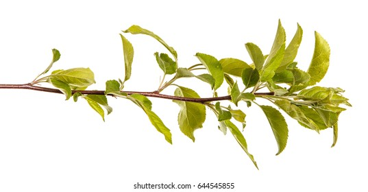 A branch of an apple tree with green leaves. Isolated on white background