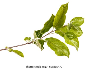 Branch of an apple tree with green leaves. Isolated on white background