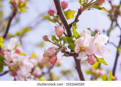 branch of apple tree with pink flowers on a background of flowering trees