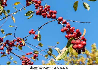 Branch of apple tree with red apples close-up on a background of bright blue sky. Apple tree with many ripe red apples in autumn garden.