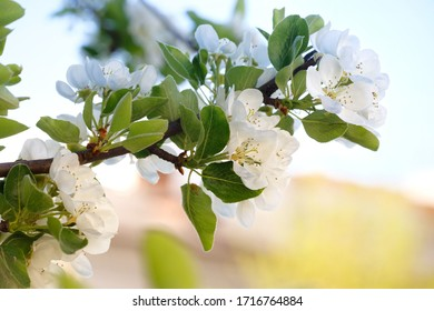 Branch of apple tree in spring