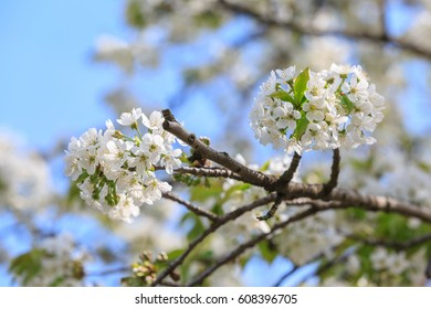 Branch of apple tree with white flowers on blue sky background