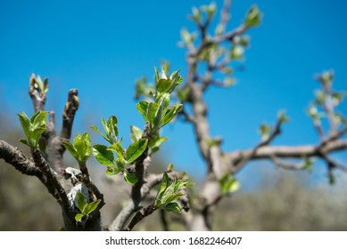 Branch of apple tree with young leaves against blue sky in fruit grove in spring. Close up, selective focus