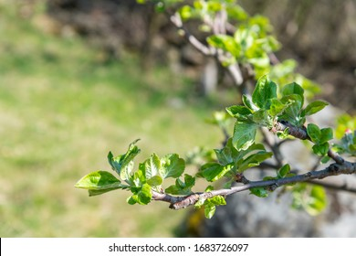 Branch of apple tree with young leaves in fruit grove in spring. Close up, selective focus