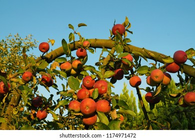 Branch of apple trees bending under the weight of fruit. Autumn orchard.