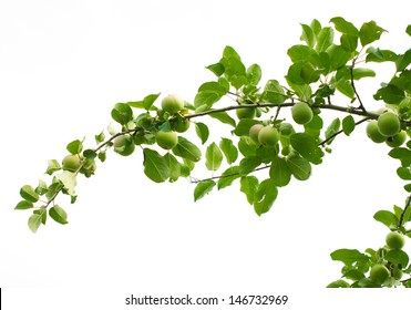 branch with apples on a white background
