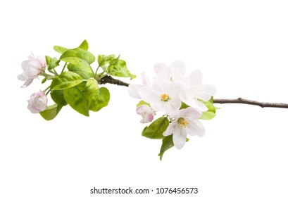 branch of an apple-tree with flowers isolated on a white background