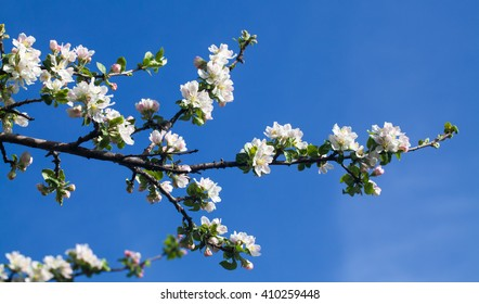 A branch of an apricot on a pure blue sky