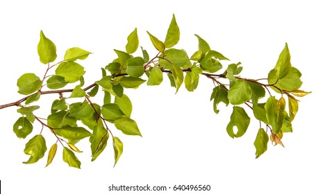 Branch of apricot tree with green leaves isolated on white background