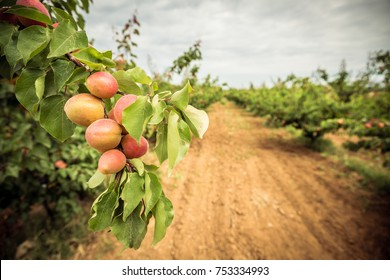 A branch with apricots and green leaves. Apricot orchard and dirt path