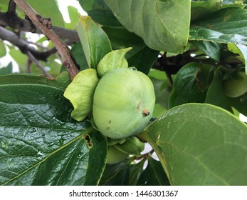 branch of the Asian persimmon tree with still green young unripe fruits that are growing in Japan ; Diospyros kaki
