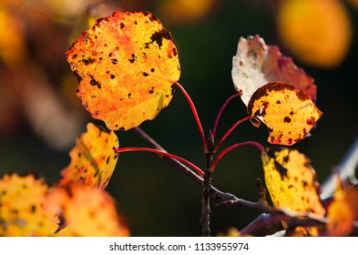 Branch of autumn aspen leaves is yellow. Beauty in nature