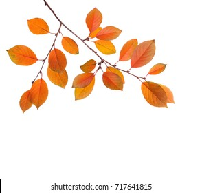 Branch of autumn leaves (Cherry plum) isolated on a white background. Studio  shot