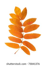 Branch of autumn leaves of a rowan on a white background