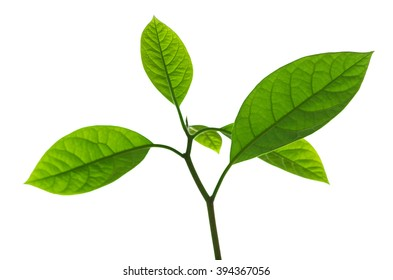 Branch of avocado tree isolated on white background