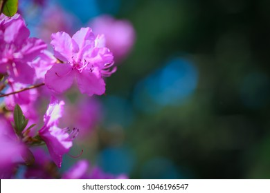 Branch with azaleas flowers against background of pink blurry colors and blue sky. Floral background. Copy space.