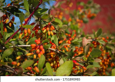 a branch of a barberry Bush with ripe barberry berries