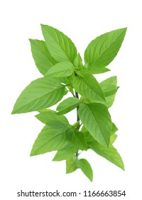 A branch of basil isolated on white
