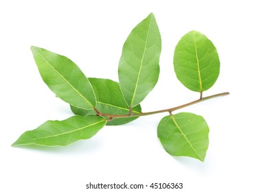 Branch of bay leaf isolated on white