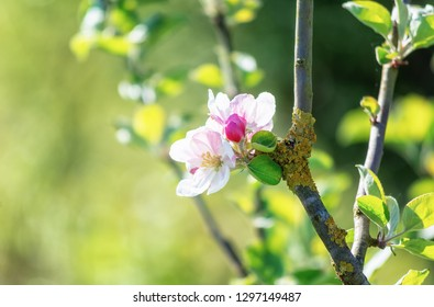 Branch with a beautiful flowering apple blossoms somewhere in the fruit region De Betuwe in the Netherlands