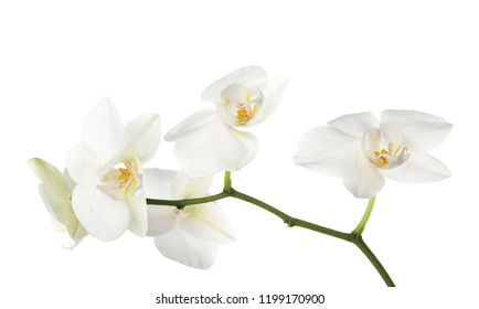 Branch with beautiful orchid flowers on white background. Tropical plant