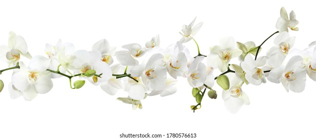 Branch of beautiful orchid on white background. Banner design