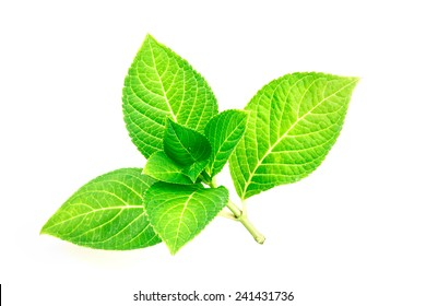 Branch beautiful shape of green leaf